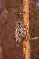 Great Grey Owl Strix nebulosa Sitting in pine tree _ Finland