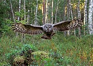 Great Grey Owl Strix nebulosa adult, in flight, hunting in coniferous forest, Finland, july