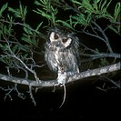 White_faced Scops Owl Otus leucotis With mouse / Rhodesia