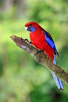 Crimson Rosella Platycercus elegans adult, perched on branch, Lamington N P , Queensland, Australia