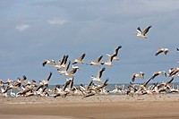 Great White Pelican Pelecanus onocrotalus flock, in flight, taking off from beach, Senegal