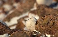 Rock Ptarmigan Lagopus mutus adult, winter plumage, sheltering behind boulder, Cairngorms, Scotland