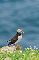 Atlantic Puffin Fratercula arctica adult, with sand_eels in beak, standing on rock, Saltee Islands, Ireland
