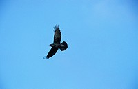 Raven Corvus corax In flight / Mid_Wales / September