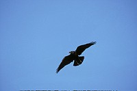 Raven Corvus corax In flight _ Mid_Wales _ September S