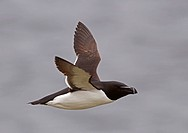 Razorbill Alca torda adult, summer plumage, in flight, Northern Norway, june