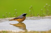 Common Redstart Phoenicurus phoenicurus adult male, at pool, Spain