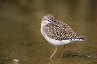 Wood Sandpiper Tringa glareola standing in water, resting, Lesvos, Greec, april