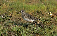 Wood Sandpiper Tringa glareola Standing _ close_up
