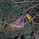 Siskin Carduelis spinus Male at nest in Scots Pine _ with young
