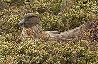 Antarctic Skua Catharacta antarctica adult, sitting on nest, incubating eggs, Pebble Island, West Falklands, december