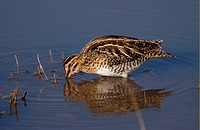 Wilson´s Snipe Gallinago gallinago delicata Feeding in water, Bosque, New Mexico, U S A