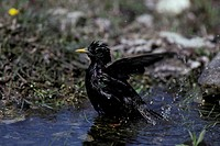 Common Starling Sturnus vulgaris Bathing / Gotland Sweden/ June
