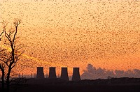 Common Starling Sturnus vulgaris huge flock gathering to roost at sunset, factory cooling towers, England, winter
