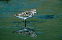 Little Stint Calidris minuta Wading / reflection/ Lesbos, Greece, May