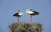 White Stork Ciconia ciconia Greeting display / Kalloni, Lesbos
