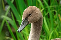 Mute Swan Cygnus olor cygnet, close_up of head, England
