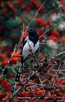 Magpie Tanager Cissopis leveriana Perched on thorny branch _ with berries _ Brazil S