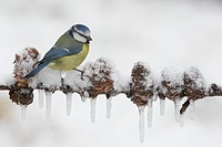 Blue Tit Parus caeruleus adult, perched on European Larch Larix decidua branch with snow and icicles, England, february
