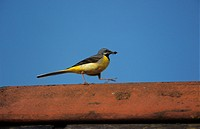 Grey Wagtail Motacilla cinerea Male on roof S