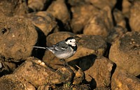 Pied Wagtail Motacilla alba Perched on sugar beet heap _ Norfolk