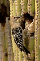 Gila Woodpecker Melanerpes uropygialis adult, at nest hole in cactus, Arizona, U S A