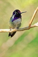 Costa´s Hummimgbird Calypte costae adult male, perched on twig, Sonora Desert, Arizona, U S A