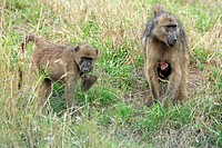Chacma Baboon Papio cynocephalus ursinus adult female, with young clinging to belly, immature feeding, Kruger N P , South Africa