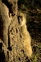Yellow Baboon Papio cynocephalus cynocephalus immature, looking around tree trunk, South Luangwa N P , Zambia