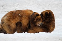 North American Brown Bear Ursus arctos horribilis two adults, wrestling in snow