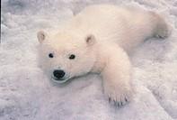 Polar Bear Ursus maritimus 4 month old cub / close_up