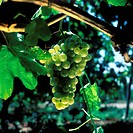 France, Alpes_de_Haute_Provence, bunch of white grapes