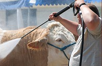 Domestic Cattle, bull, being cleaned by farmer with pressure washer, Royal Norfolk Show, Norfolk, England