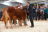 Domestic Cattle, British Limousin, with judge inspecting, showing at pedigree sale, Borderway Mart, Cumbria, England