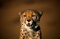 Cheetah Acinonyx jubatus Close_up of head _ Namibia