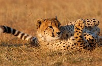 Cheetah Acinonyx jubatus Lying in grass _ Masai Mara, Kenya