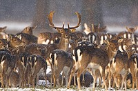 Fallow Deer Dama dama parkland herd huddled together in snowy conditions, Holkham Hall, Norfolk, England, december