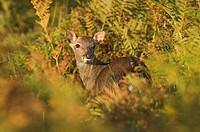 Sika Deer Cervus nippon young hind, standing amongst bracken, Knole Park, Kent, England, autumn
