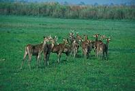 Swamp Deer Cervus duvaucelii herd