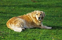 Domestic Dog Golden Retriever 'Bess' resting on grass