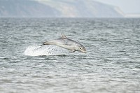 Bottlenose Dolphin Tursiops truncatus one year old calf, breaching, Chanonry Point, Black Isle, Moray Firth, Scotland