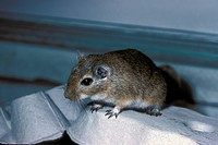 Gerbil Close_up / Sitting on egg box