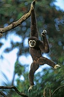 Common Gibbon Hylobates lar Hanging from branch _ captive