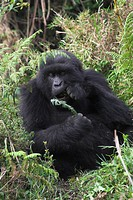 Mountain Gorilla Gorilla beringei beringei adult, feeding on leaves, Parc National des Volcans Volcanos N P , Rwanda