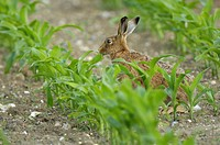 European Hare Lepus europaeus adult, feeding, amongst maize plants in arable farmland, Norfolk, England, june