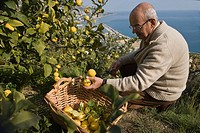 France, Alpes Maritimes, Menton, Xavier Habart harvesting his Menton lemons in the L´Au Dela Orchard