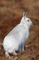 Mountain Hare Lepus timidus adult, winter coat, standing on heather, Grampians, Highlands, Scotland