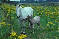 Horse mare and foal in field with Ragwort _ very poisness for horses