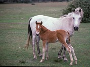 Horse _ Pony New Forest / grey standing with foal