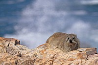 Rock Hyrax Procavia capensis Adult on rocks near coast, South Africa